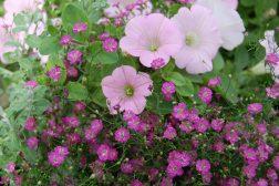Petunia, brudeslør