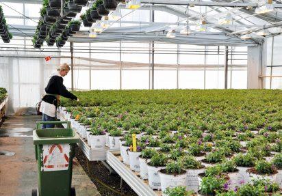 Veksthus, produksjon av petunia
