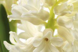 svibel_hyacinthus2-1