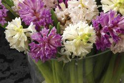 svibel_hyacinthus3