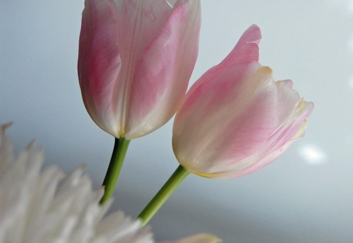 To tulipaner i rosa