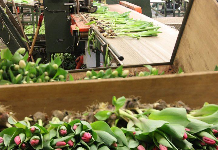 Tulipanproduksjon, pakking av ferdige blomster