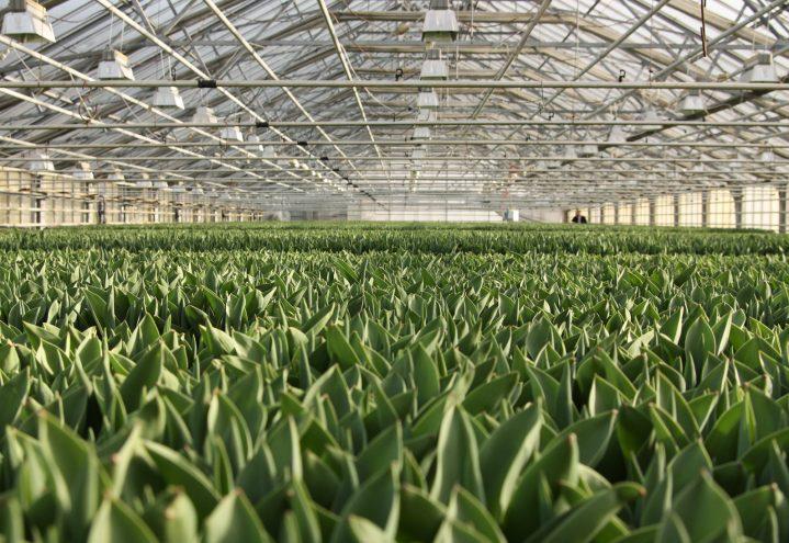 Tulipanproduksjon