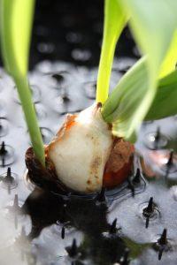 Tulipanproduksjon i vann