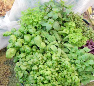 Samling av urter til kjøkkenhagen