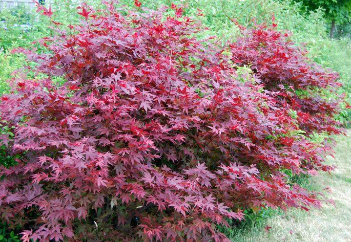 Viftelønn, Acer, i fulle høstfarger