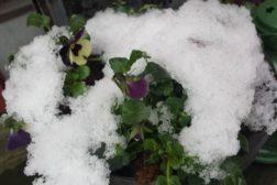 Plant ikke ut for tidlig! – og hvordan takler egentlig plantene vårfrost og snø?