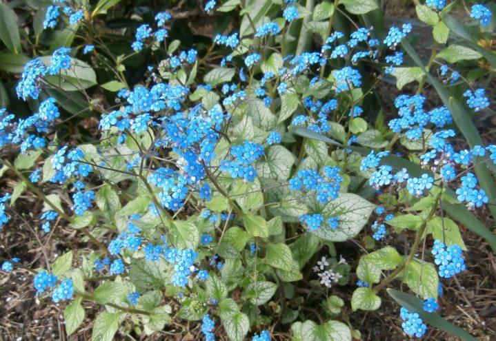 Brunnera, bunndekkende staude i blått