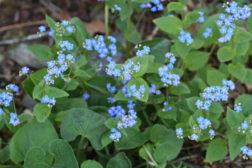 Brunnera, en blomstrende staude som tåler skygge