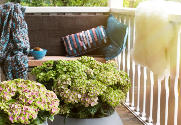 Magiske hortensia foretrekker en plass i skyggen
