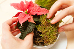 Borddekorasjon til julen, med julestjerner, trinn 1