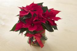 I-siste-lite-julegaven, lag en enkel blomsterpotte til julestjernegaven, trinn 5, ferdig
