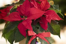 I-siste-lite-julegaven, enkel blomsterpotte til julestjernegaven