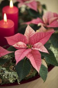 Adventskrans med rosa stjerner
