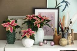 Julestjerner i potter og vaser; juledekorasjon uten et snev rødt