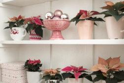 Store variasjoner med julestjerner