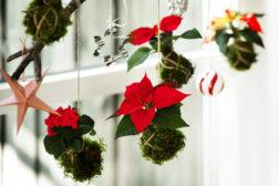 Julestjerner i moseballer, perfekt for juletreet og dekorasjoner