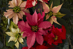 Utvalg sorter av julstjerne