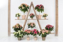 Varianter av julestjerner i rosa