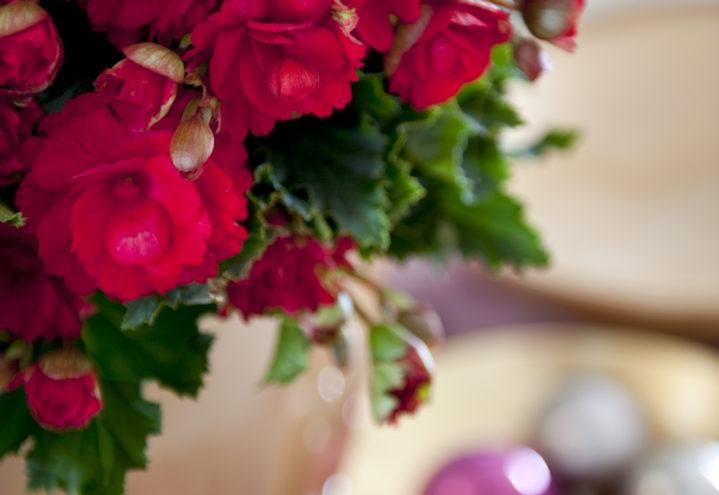 Begonia 'Grace' til julefesten