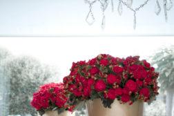 Begonia 'Grace' – julebegonia som ikke er juleglede