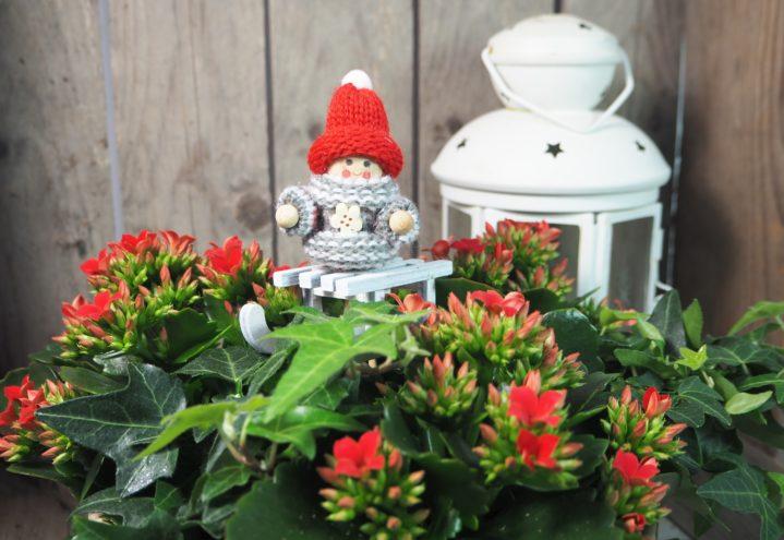 Røde ildtopp er perfekte juleblomster