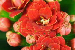 Nærbilde av blomst av ildtopp