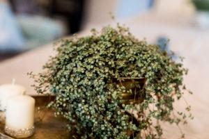 Pilea libanensis er en grønnplante med mange fans