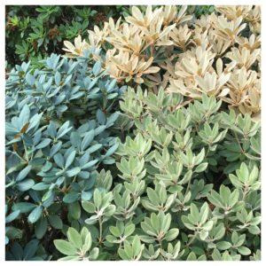 Store variasjoner i bladfargene på Rhododendron