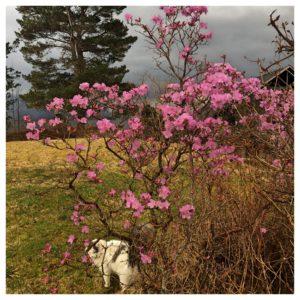 Rhododendron Praecox blomstrer på bar kvist