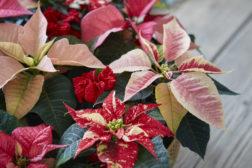Juledekorasjon på et brett med julestjerner