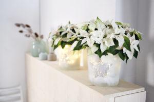 Lag din lysende blomsterpotte med hvite julestjerner
