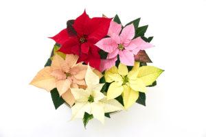 Klare farger med julestjerner