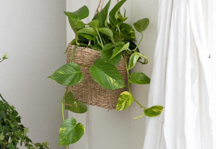 Gullranke er en plante som vokser raskt og er en svært god luftrenser