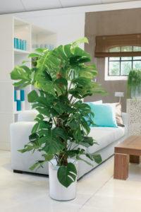 VIndusblad heter den på norsk, Monstera på botanisk. Flott klatreplante!