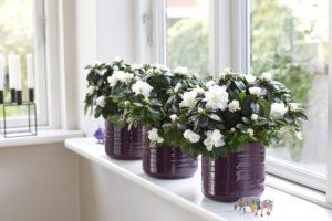Hvite asalea i lilla potter er perfekt både til advent, jul og januar