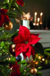 Nærbilde av julestjerne på juletreet