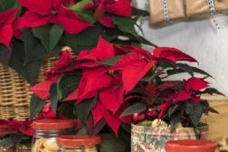 Julestemning med julestjerner