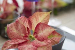 Tofarget julestjerne på festbordet