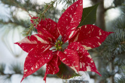 Dekorer juletreet vakkert med levende juleblomster!