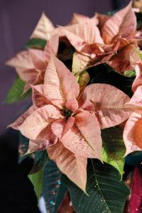 Ferskenfarget julestjerne skinner enda mer med glitter