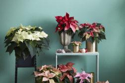 Et bredt utvalg av julestjerner