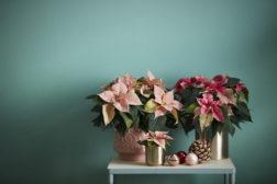Tre nyanser av rosa julestjerner, Princettia
