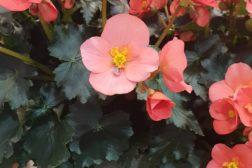 Begonia til sommerkrukkene