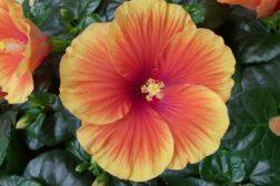 Hibiscus, hawaiirose