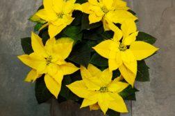 Knall gul julestjerne – blir det en oktoberhit?