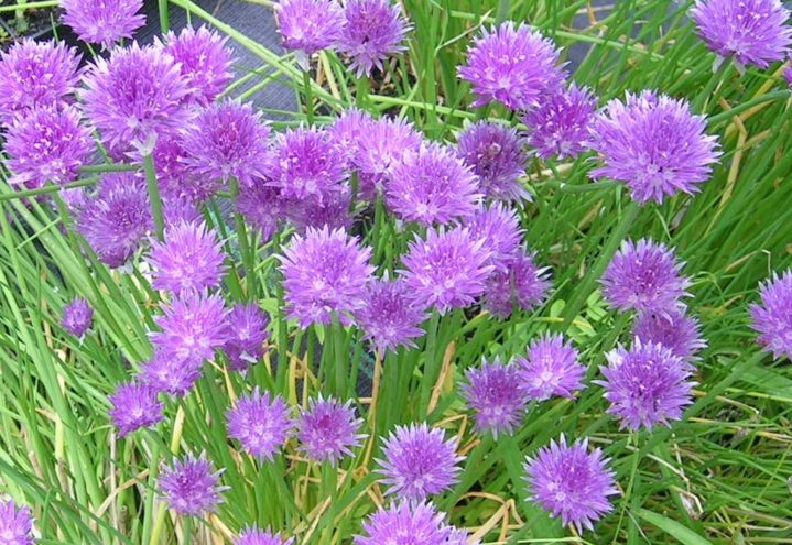 Allium schoenoprasum, gressløk