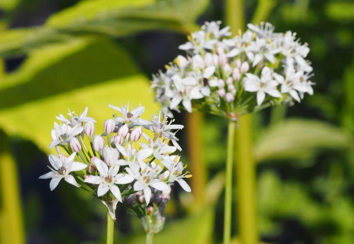 Allium tuberosum, kinagressløk