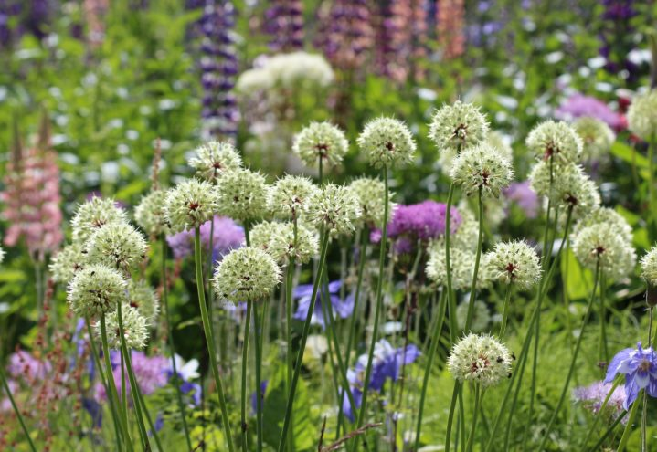 Allium victorialis, seiersløk