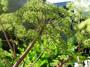 Angelica archangelica, kvann, er god mat